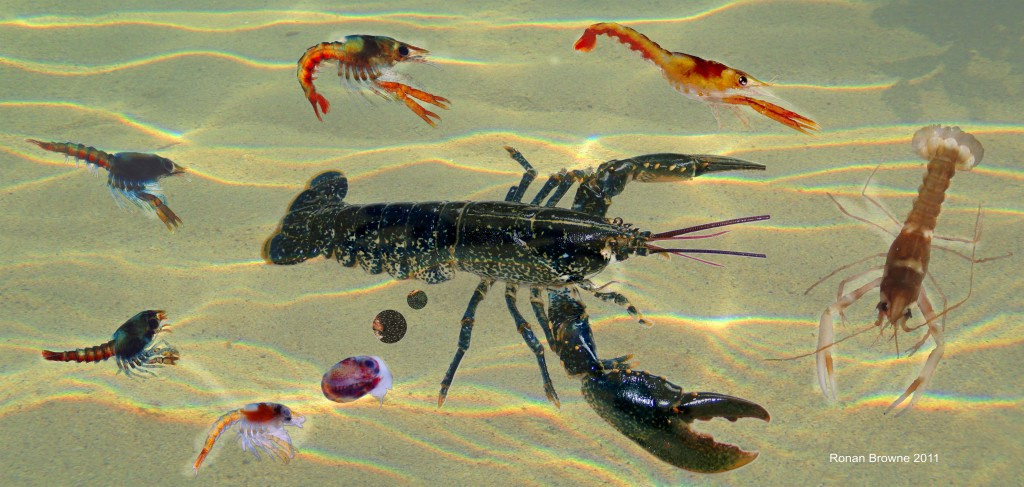 Lobster early life stages